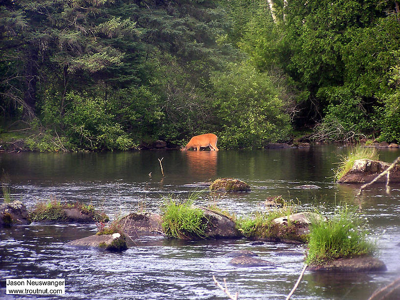 A whitetail deer pretends to be a moose, sticking its head underwater to graze on rich aquatic vegetation. From the Bois Brule River in Wisconsin.
