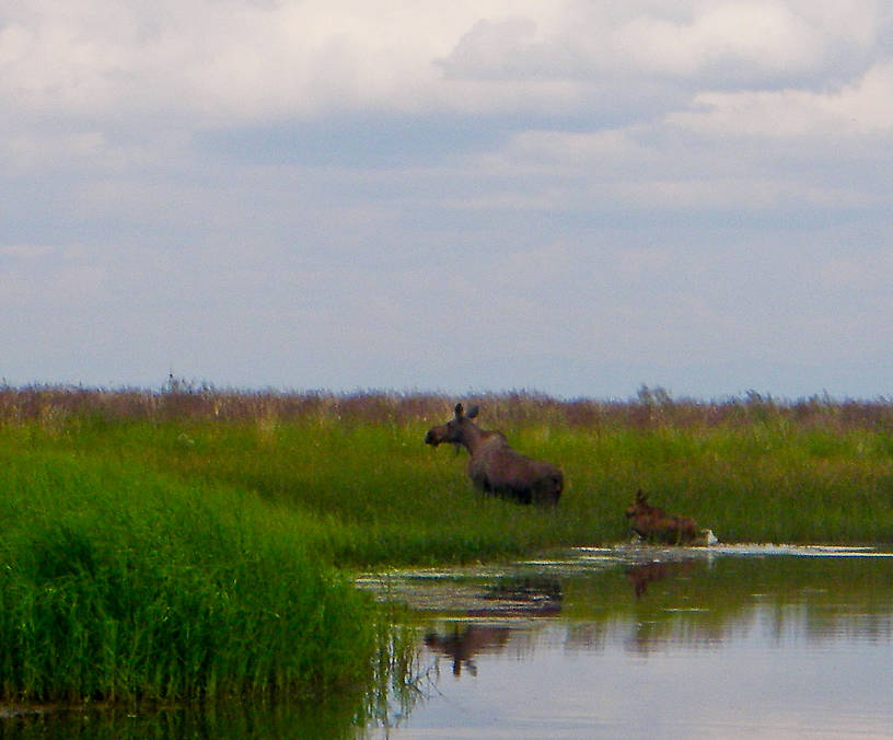 A cow moose with her calf clamber out of the slough we were fishing for pike. From Minto Flats in Alaska.