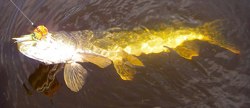 My first Alaskan northern pike, around 21-22 inches long. From Minto Flats in Alaska.