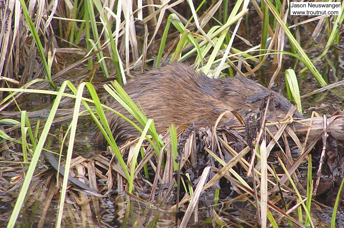 This muskrat swam around me for a while as I fished a caddisfly hatch. From the Namekagon River in Wisconsin.