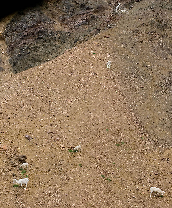 Dall Sheep in Denali National Park. From Denali National Park in Alaska.