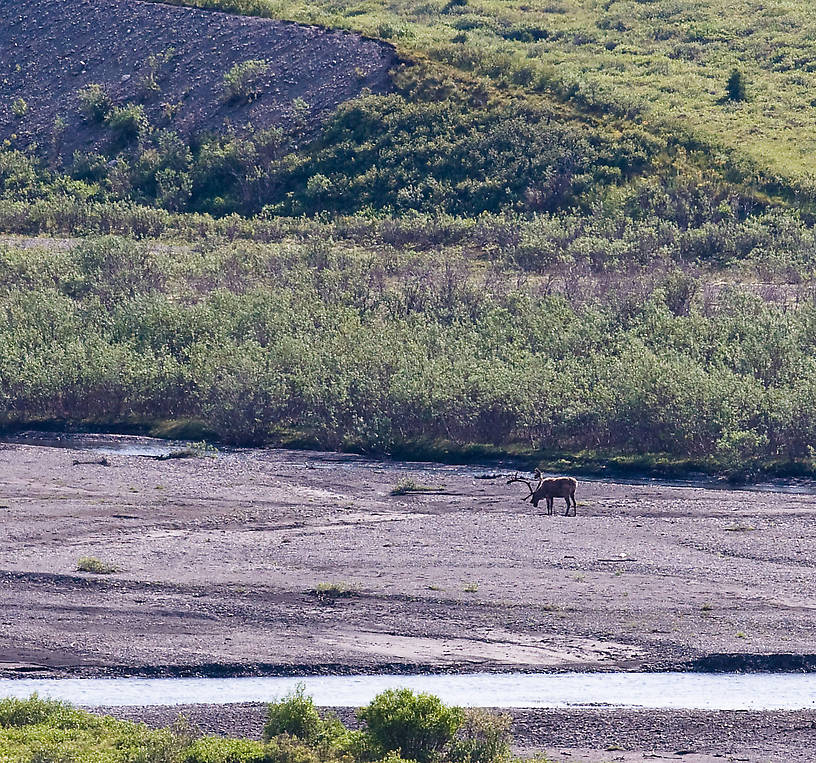 A large caribou walks through the bed of a glacial river in Denali National Park. From Denali National Park in Alaska.