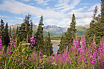 The Fireweed here grows thick along many roadsides in Alaska, including the Richardson Highway here with a view of the glacial Delta River and the Alaska Range. From the Delta River in Alaska.