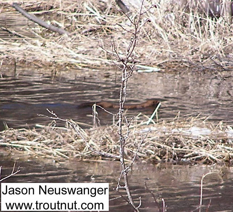 A large mink swims around a trout stream in early spring. From the Namekagon River in Wisconsin.