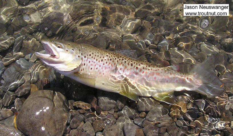 "This 15"" brown trout took a small emergent sparkle pupa on a large Catskill river. From the Beaverkill River in New York."