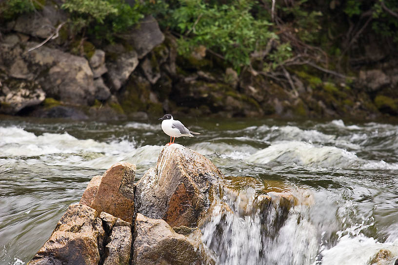A Bonaparte's Gull perched on a rock. From the Gulkana River in Alaska.