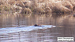 A beaver swims around the swampy corpse of a trout stream his species destroyed, with a little help from ours. From Eddy Creek in Wisconsin.