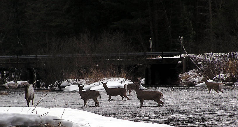 Several whitetail deer cross the river in front of me in the middle of winter. From the Namekagon River in Wisconsin.
