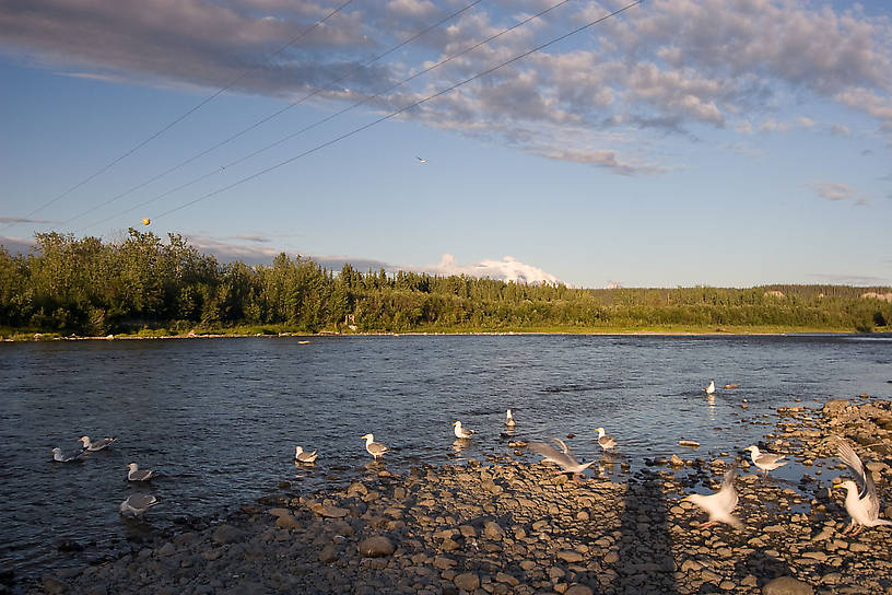 These seagulls live at the salmon-cleaning station during this time of year. From the Gulkana River in Alaska.