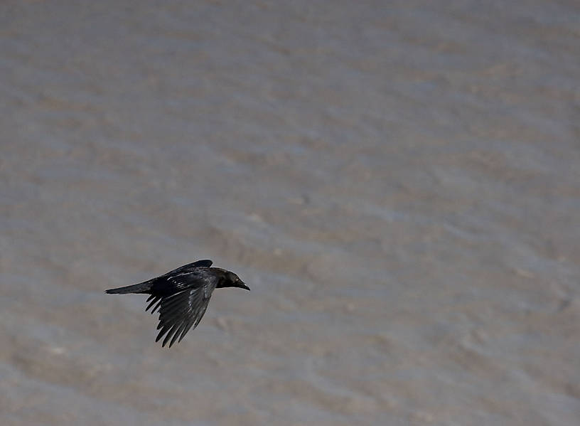 A raven flies over the Copper River. From the Copper River in Alaska.