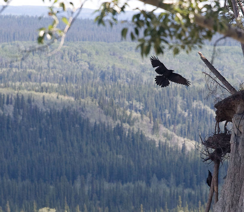 A raven returns to its cliff-side nest along the Copper River. From the Copper River in Alaska.