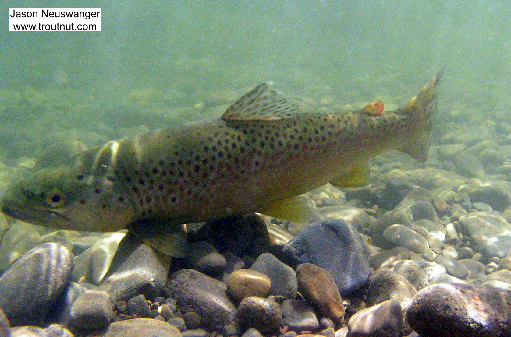 """Here's an underwater post-release picture of a 15"""" brown trout I caught in a clear Catskill river. From the Beaverkill River in New York."""