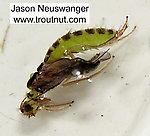 Cheumatopsyche (Little Sister Sedges) Caddisfly Pupa