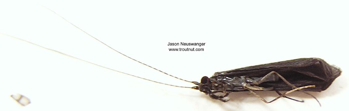Mystacides sepulchralis (Black Dancer) Caddisfly Adult from the Bois Brule River in Wisconsin