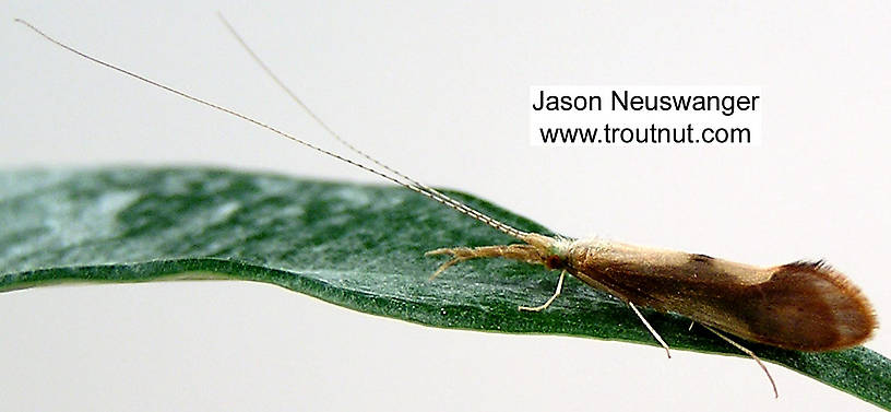 Triaenodes Caddisfly Adult from unknown in Wisconsin