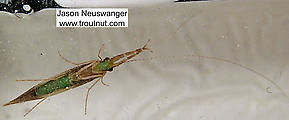 Triaenodes  Caddisfly Adult