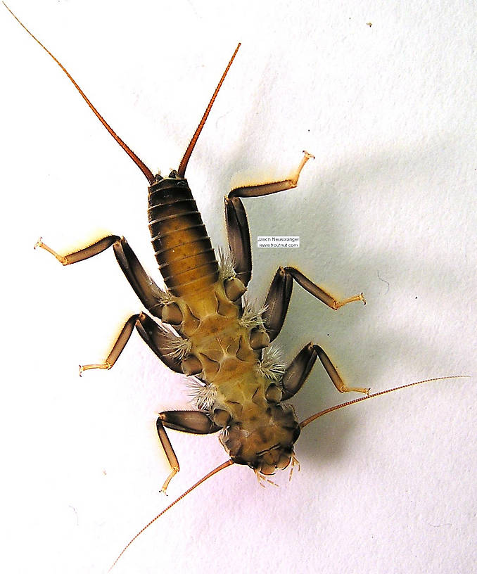 Acroneuria lycorias (Golden Stone) Stonefly Nymph from the Namekagon River in Wisconsin