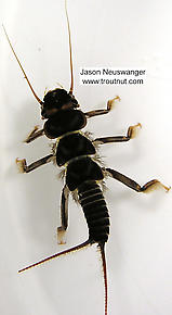 Acroneuria lycorias (Golden Stone) Stonefly Nymph