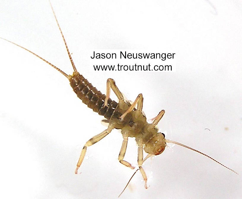 Isoperla (Stripetails and Yellow Stones) Stonefly Nymph from unknown in Wisconsin