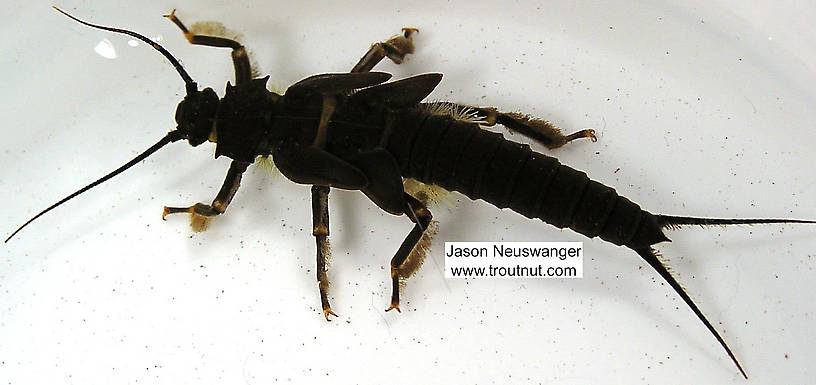 Pteronarcys dorsata (Giant Black Stonefly) Stonefly Nymph from the Namekagon River in Wisconsin