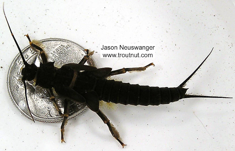 The quarter below the nymph in this picture gives an idea of its size.  Pteronarcys dorsata (Giant Black Stonefly) Stonefly Nymph from the Namekagon River in Wisconsin
