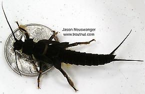 Pteronarcys dorsata (Giant Black Stonefly) Stonefly Nymph