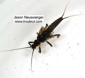 Taeniopteryx (Early Black Stoneflies) Stonefly Nymph