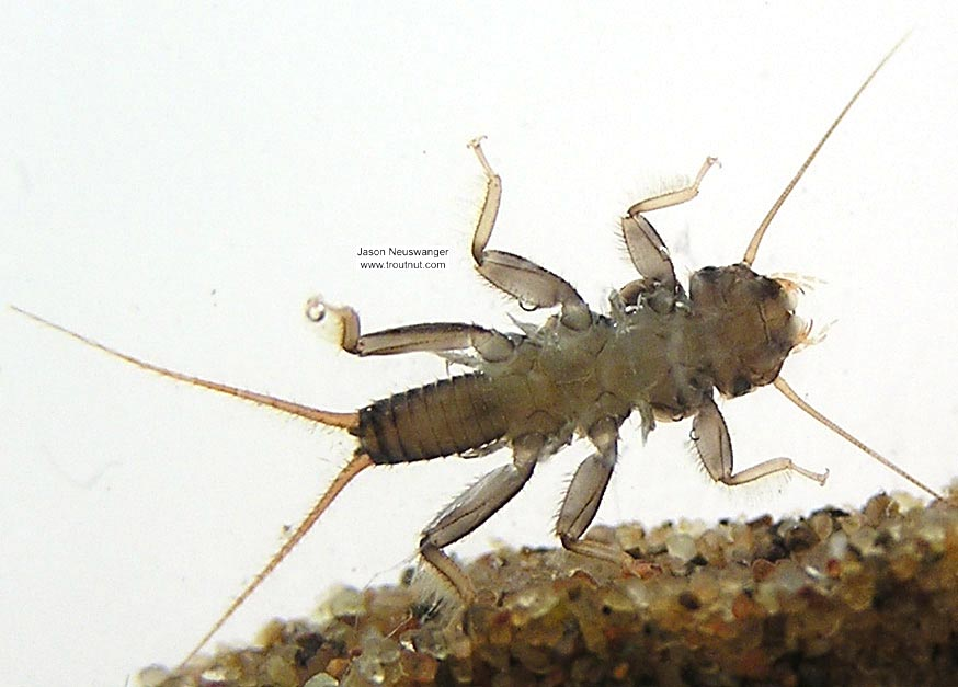 Paragnetina media (Embossed Stonefly) Stonefly Nymph from unknown in Wisconsin