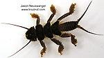 Perlidae (Golden Stones) Stonefly Nymph