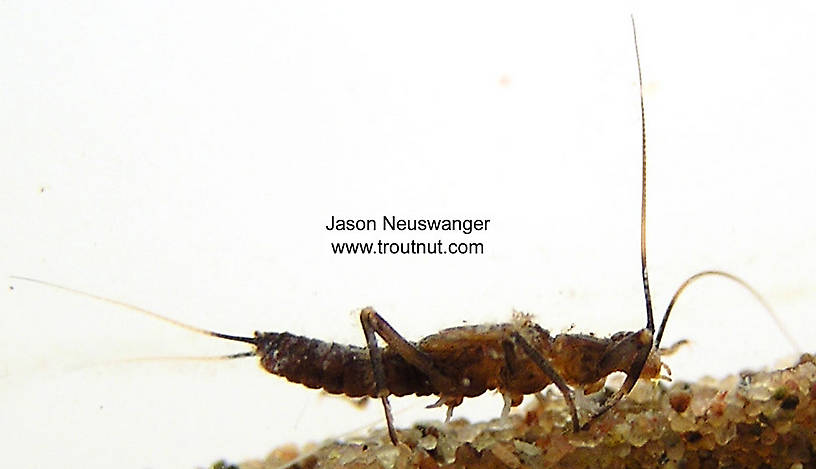Taeniopteryx (Early Black Stoneflies) Stonefly Nymph from unknown in Wisconsin
