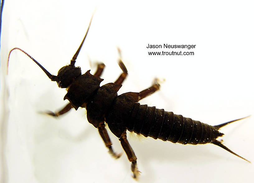 Pteronarcys dorsata (Giant Black Stonefly) Stonefly Nymph from unknown in Wisconsin