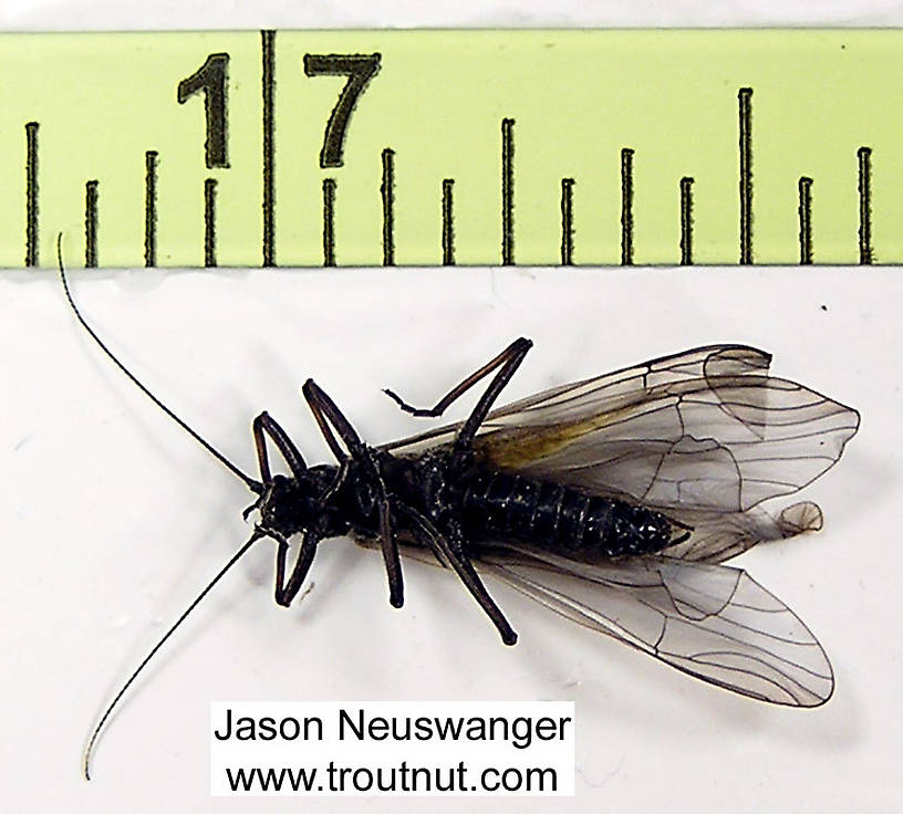 Her body is almost exactly half an inch long.  Female Strophopteryx fasciata (Mottled Willowfly) Stonefly Adult from the Namekagon River in Wisconsin
