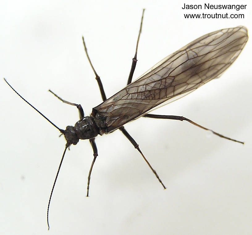 Female Strophopteryx fasciata (Mottled Willowfly) Stonefly Adult from the Namekagon River in Wisconsin