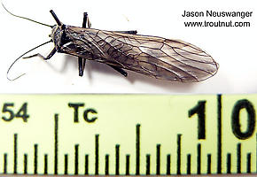 Male Strophopteryx fasciata (Mottled Willowfly) Stonefly Adult