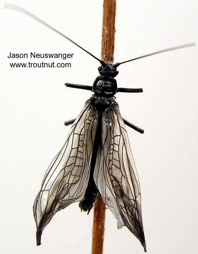 Male Strophopteryx fasciata (Mottled Willowfly) Stonefly Adult from the Namekagon River in Wisconsin