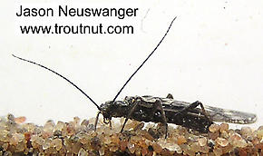 Plecoptera (Stoneflies) Insect Nymph