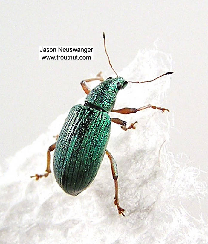 Polydrusus (Green Weevils) Beetle Adult from the Bois Brule River in Wisconsin