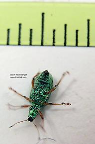Polydrusus (Green Weevils) Beetle Adult