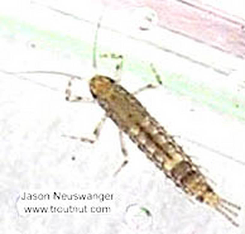 Baetidae (Blue-Winged Olives) Mayfly Nymph from the Namekagon River in Wisconsin