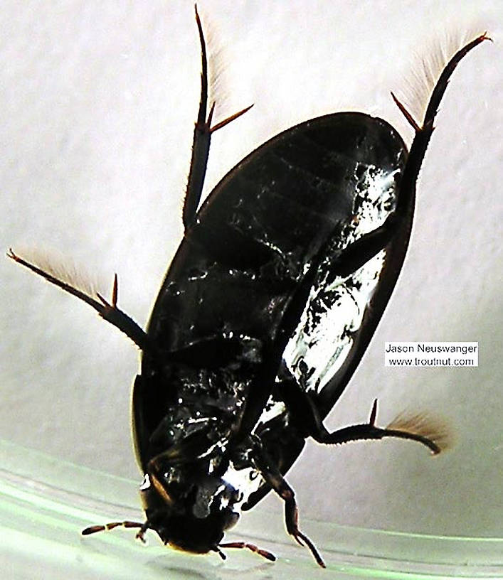 Hydrophilidae (Giant Water Scavenger Beetles) Beetle Adult from the Namekagon River in Wisconsin