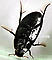 Hydrophilidae (Giant Water Scavenger Beetles) Beetle Adult