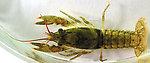 Cambaridae  Crayfish Juvenile