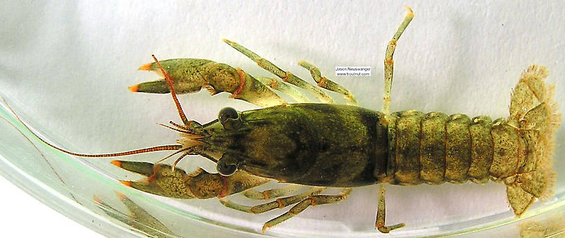 Cambaridae Crayfish Juvenile from the Namekagon River in Wisconsin