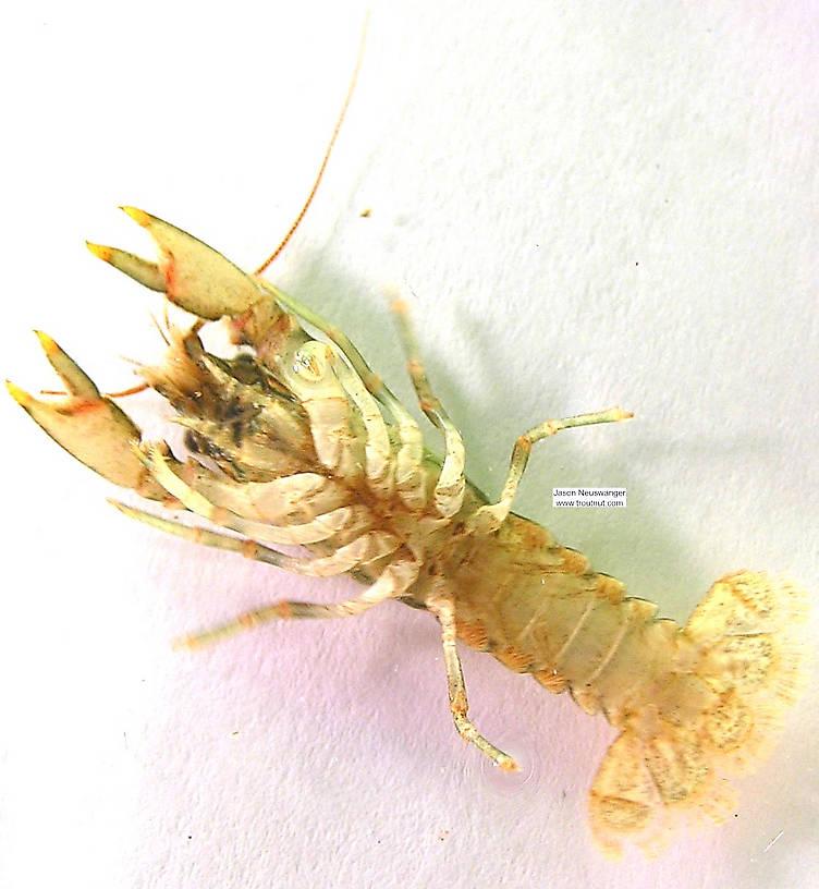 Cambaridae Crayfish Juvenile from the Namekagon River in Wisconsin