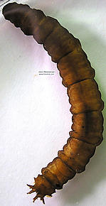 Tipulidae (Crane Flies) True Fly Larva
