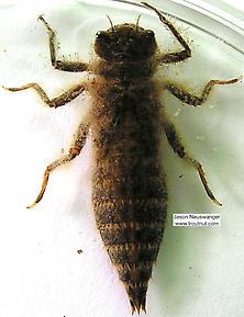 Cordulegaster  Dragonfly Nymph