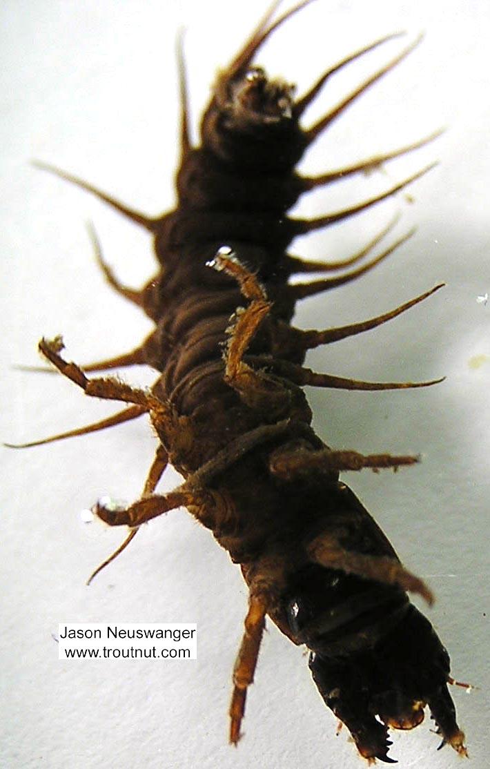 Nigronia serricornis (Fishfly) Hellgrammite Larva from the Namekagon River in Wisconsin