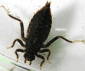 Gomphidae  Dragonfly Nymph