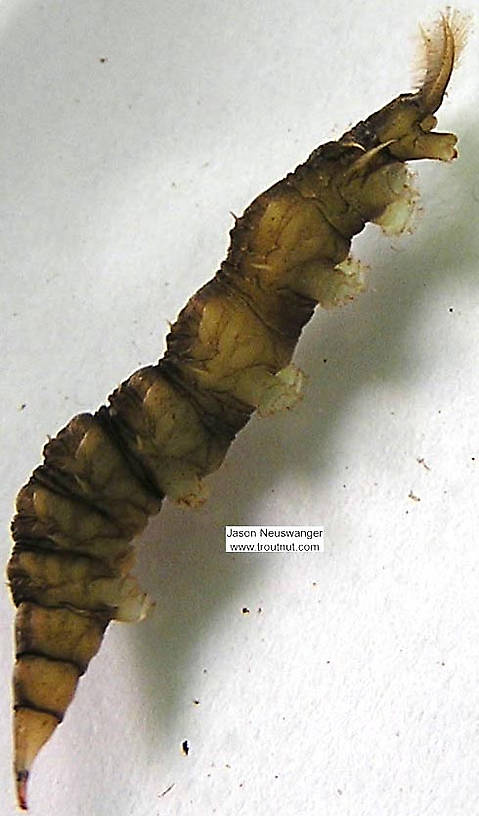 Athericidae (Watersnipe Flies) True Fly Larva from unknown in Wisconsin