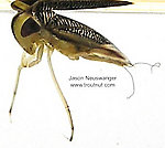Corixidae (Water Boatmen) True Bug Adult